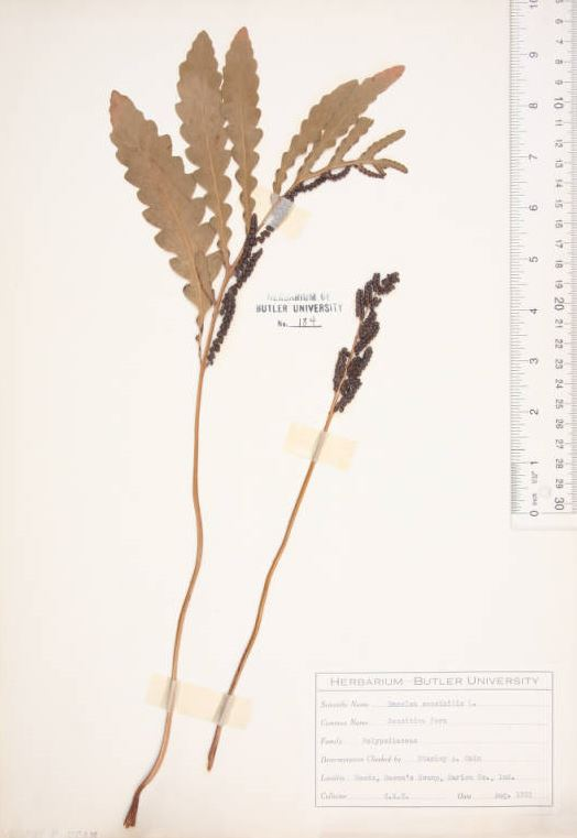 bacons swamp - butler herbarium