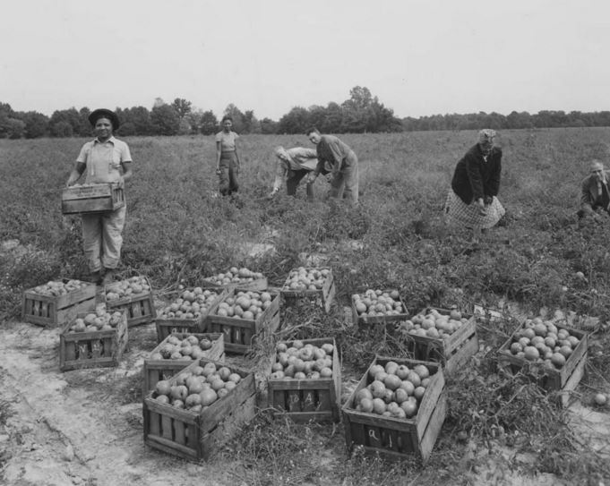 Tomato farmers, Loudon Packing Company