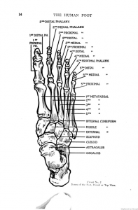 Dr. William M. Scholl, The Human Foot: Anatomy, Deformities and Treatment (Chicago: Foot Specialist Publishing Co., 1915), accessed Google Books
